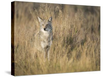 Mountain Coyote, Canis Latrans Lestes, Grand Teton National Park, Wyoming-Maresa Pryor-Stretched Canvas Print