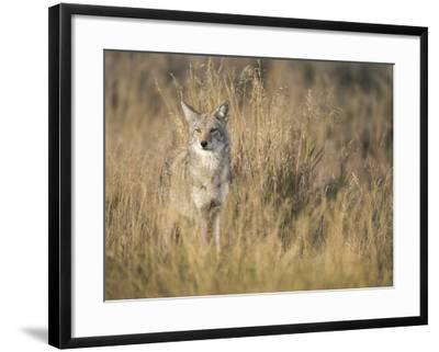 Mountain Coyote, Canis Latrans Lestes, Grand Teton National Park, Wyoming-Maresa Pryor-Framed Photographic Print