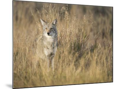 Mountain Coyote, Canis Latrans Lestes, Grand Teton National Park, Wyoming-Maresa Pryor-Mounted Photographic Print