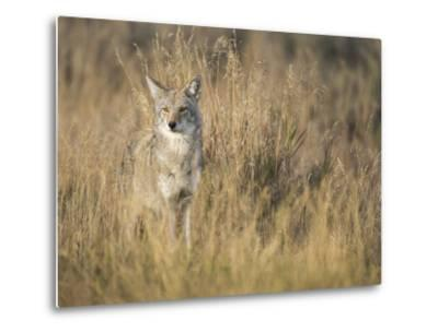 Mountain Coyote, Canis Latrans Lestes, Grand Teton National Park, Wyoming-Maresa Pryor-Metal Print
