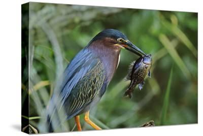 Green Heron with Fish, Florida, Usa-Tim Fitzharris-Stretched Canvas Print