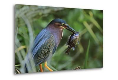 Green Heron with Fish, Florida, Usa-Tim Fitzharris-Metal Print