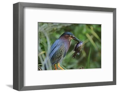Green Heron with Fish, Florida, Usa-Tim Fitzharris-Framed Photographic Print