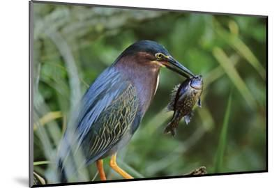 Green Heron with Fish, Florida, Usa-Tim Fitzharris-Mounted Photographic Print