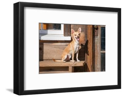 Chihuahua Looking-Zandria Muench Beraldo-Framed Photographic Print