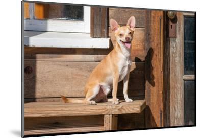 Chihuahua Looking-Zandria Muench Beraldo-Mounted Photographic Print