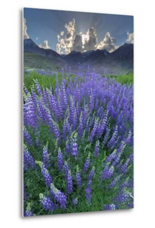 California, Sierra Nevada Mountains. Inyo Bush Lupine Blooms and Mountains-Jaynes Gallery-Metal Print