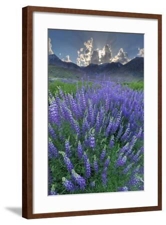 California, Sierra Nevada Mountains. Inyo Bush Lupine Blooms and Mountains-Jaynes Gallery-Framed Photographic Print