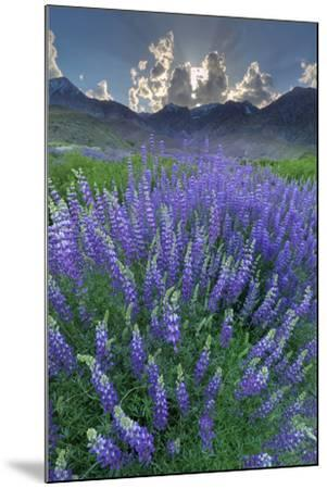 California, Sierra Nevada Mountains. Inyo Bush Lupine Blooms and Mountains-Jaynes Gallery-Mounted Photographic Print