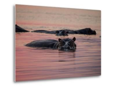 Africa, Zambia. Hippos in River at Sunset-Jaynes Gallery-Metal Print