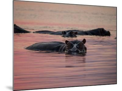 Africa, Zambia. Hippos in River at Sunset-Jaynes Gallery-Mounted Photographic Print