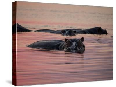 Africa, Zambia. Hippos in River at Sunset-Jaynes Gallery-Stretched Canvas Print