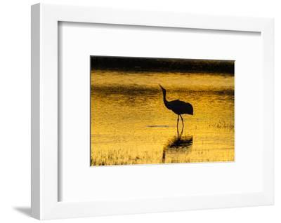 New Mexico, Bosque Del Apache National Wildlife Refuge. Sandhill Crane at Sunset-Jaynes Gallery-Framed Photographic Print