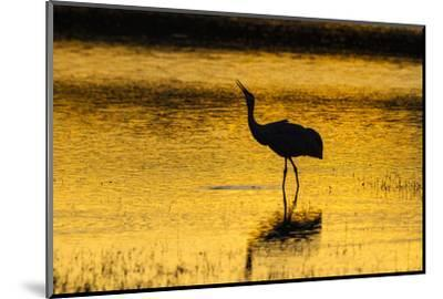 New Mexico, Bosque Del Apache National Wildlife Refuge. Sandhill Crane at Sunset-Jaynes Gallery-Mounted Photographic Print