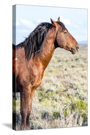 Colorado, Sand Wash Basin. Profile of Wild Stallion-Jaynes Gallery-Stretched Canvas Print