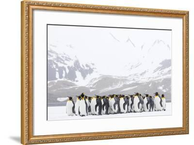South Georgia Island, Right Whale Bay. Penguins Huddle Together in Snowstorm-Jaynes Gallery-Framed Photographic Print