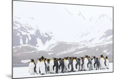 South Georgia Island, Right Whale Bay. Penguins Huddle Together in Snowstorm-Jaynes Gallery-Mounted Photographic Print