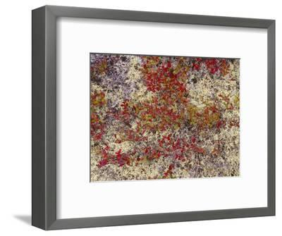 Maine, Acadia National Park, Fall Colored Shrubs and Lichen Near Otter Point-John Barger-Framed Photographic Print