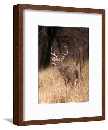 A White Tailed Deer Stays Alert to Predators in Choke Canyon State Park in Texas-John Alves-Framed Photographic Print