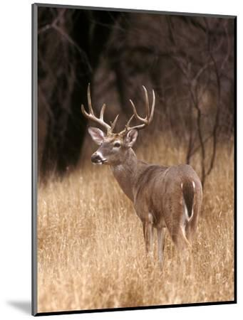 A White Tailed Deer Stays Alert to Predators in Choke Canyon State Park in Texas-John Alves-Mounted Photographic Print