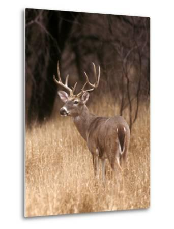 A White Tailed Deer Stays Alert to Predators in Choke Canyon State Park in Texas-John Alves-Metal Print