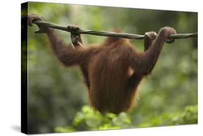 Baby Orangutan, Sabah, Malaysia-Tim Fitzharris-Stretched Canvas Print