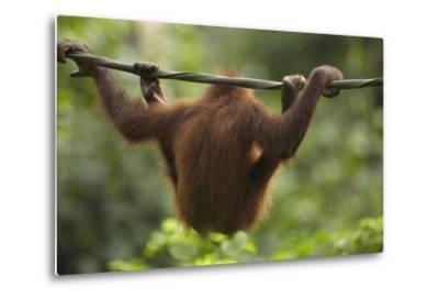 Baby Orangutan, Sabah, Malaysia-Tim Fitzharris-Metal Print