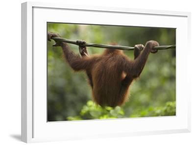 Baby Orangutan, Sabah, Malaysia-Tim Fitzharris-Framed Photographic Print