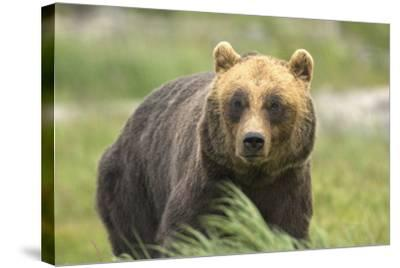An Alaskan Brown Bear Stares Intently at Camera-John Alves-Stretched Canvas Print