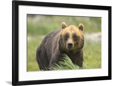 An Alaskan Brown Bear Stares Intently at Camera-John Alves-Framed Photographic Print