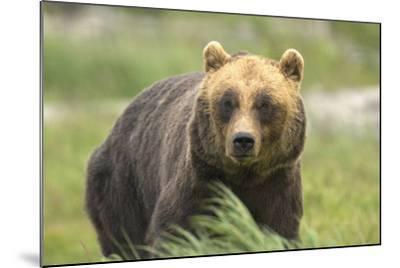 An Alaskan Brown Bear Stares Intently at Camera-John Alves-Mounted Photographic Print