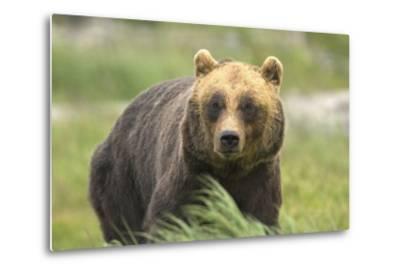 An Alaskan Brown Bear Stares Intently at Camera-John Alves-Metal Print