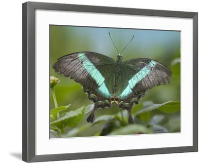 Emerald Swallowtail Butterfly, Philippines-Tim Fitzharris-Framed Photographic Print