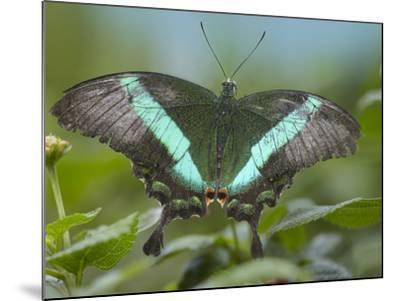 Emerald Swallowtail Butterfly, Philippines-Tim Fitzharris-Mounted Photographic Print