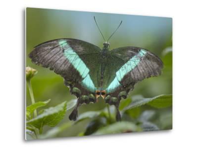 Emerald Swallowtail Butterfly, Philippines-Tim Fitzharris-Metal Print