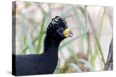 Brazil, Mato Grosso, the Pantanal. Male Bare-Faced Curassow Portrait-Ellen Goff-Stretched Canvas Print