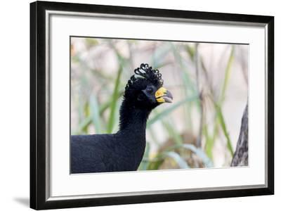 Brazil, Mato Grosso, the Pantanal. Male Bare-Faced Curassow Portrait-Ellen Goff-Framed Photographic Print
