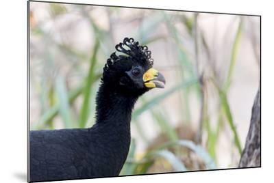 Brazil, Mato Grosso, the Pantanal. Male Bare-Faced Curassow Portrait-Ellen Goff-Mounted Photographic Print
