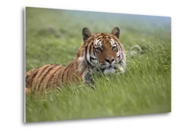 Siberian Tiger. Montana, Usa-Tim Fitzharris-Metal Print
