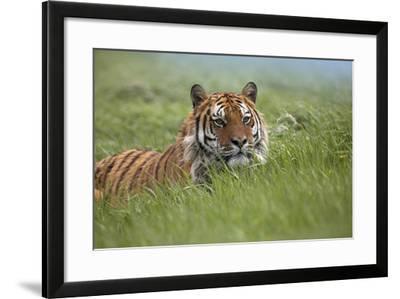 Siberian Tiger. Montana, Usa-Tim Fitzharris-Framed Photographic Print