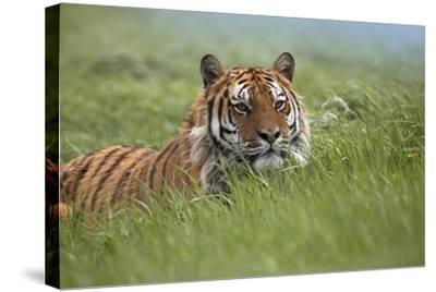 Siberian Tiger. Montana, Usa-Tim Fitzharris-Stretched Canvas Print