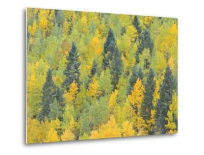 Colorado, Fall Adds Color to Aspen and Conifer Forest Near Lime Creek in the San Juan Mountains-John Barger-Metal Print