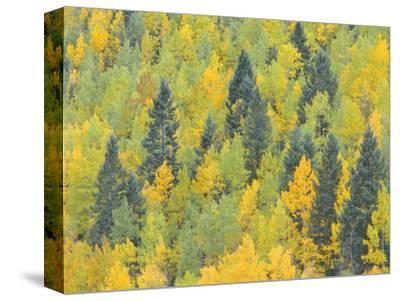 Colorado, Fall Adds Color to Aspen and Conifer Forest Near Lime Creek in the San Juan Mountains-John Barger-Stretched Canvas Print