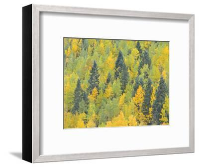 Colorado, Fall Adds Color to Aspen and Conifer Forest Near Lime Creek in the San Juan Mountains-John Barger-Framed Photographic Print
