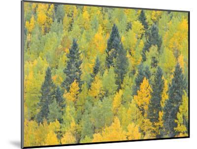 Colorado, Fall Adds Color to Aspen and Conifer Forest Near Lime Creek in the San Juan Mountains-John Barger-Mounted Photographic Print