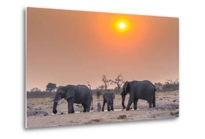 Botswana. Chobe National Park. Savuti. Harvey's Pan. Elephants Drinking at a Water Hole at Sunset-Inger Hogstrom-Metal Print