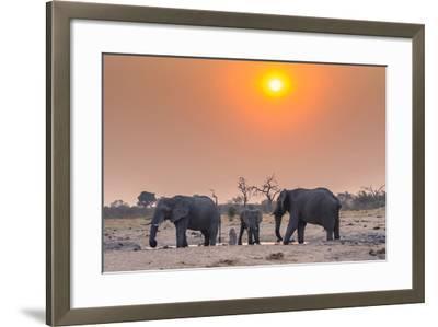 Botswana. Chobe National Park. Savuti. Harvey's Pan. Elephants Drinking at a Water Hole at Sunset-Inger Hogstrom-Framed Photographic Print