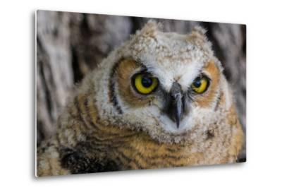 Fledgling Great Horned Owl Portrait in Cottonwood, South Dakota, Usa-Chuck Haney-Metal Print