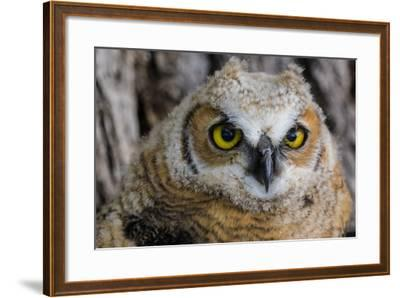Fledgling Great Horned Owl Portrait in Cottonwood, South Dakota, Usa-Chuck Haney-Framed Photographic Print
