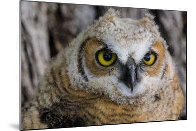 Fledgling Great Horned Owl Portrait in Cottonwood, South Dakota, Usa-Chuck Haney-Mounted Photographic Print